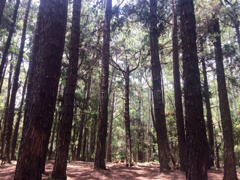 松属密林 库存照片