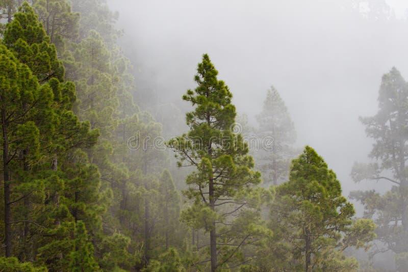 松属Canariensis 有薄雾的有雾的森林雾在杉木森林里 库存图片