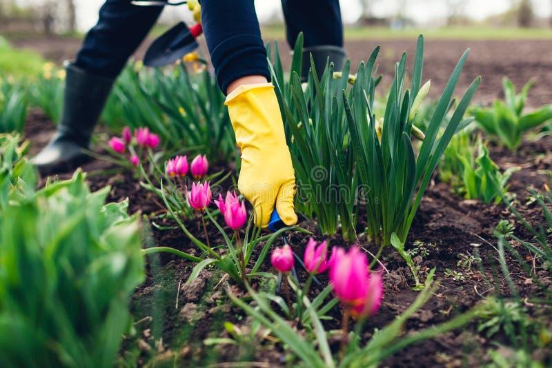 松开与手叉子的农夫土壤在春天花中在庭院里 免版税库存照片