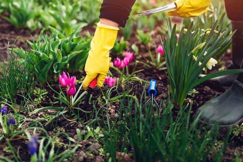 松开与手叉子的农夫土壤在春天花中在庭院里 库存图片