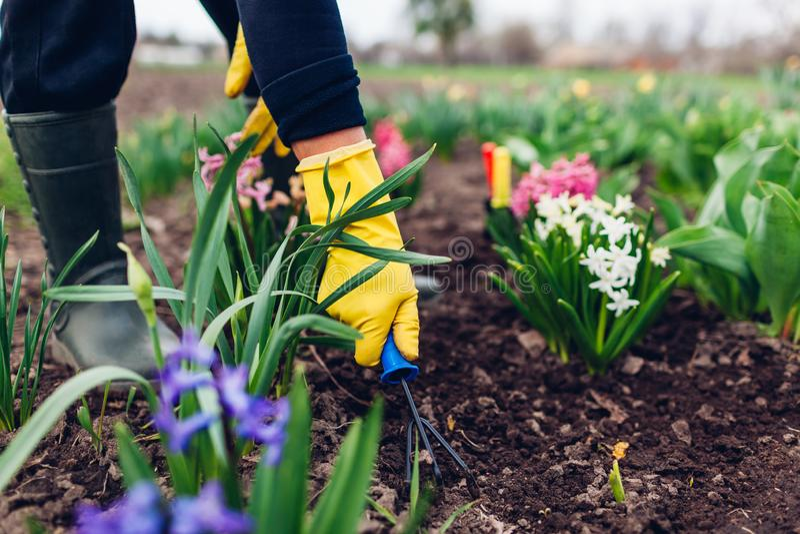 松开与手叉子的农夫土壤在春天花中在庭院里 图库摄影