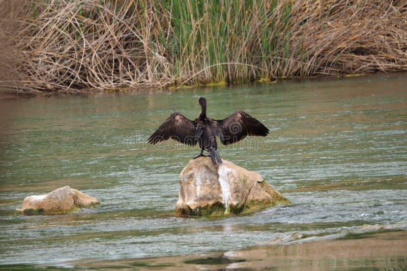 松开它的翼的黑鸬鹚对太阳,河塞格雷河,莱里达省 免版税库存照片