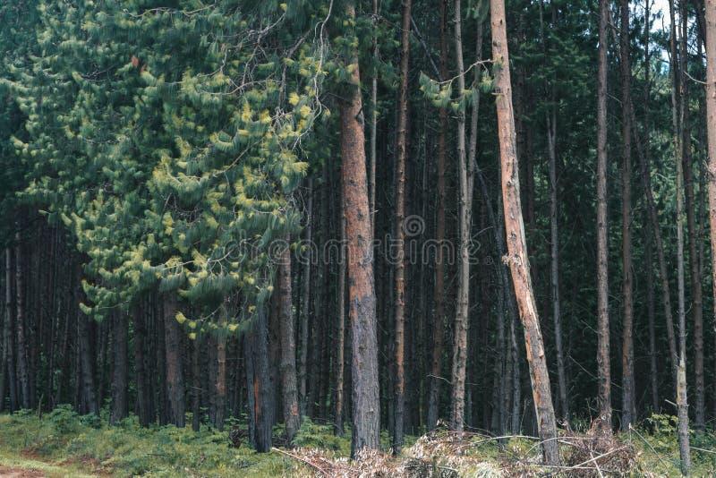 松林森林在坦桑尼亚 图库摄影