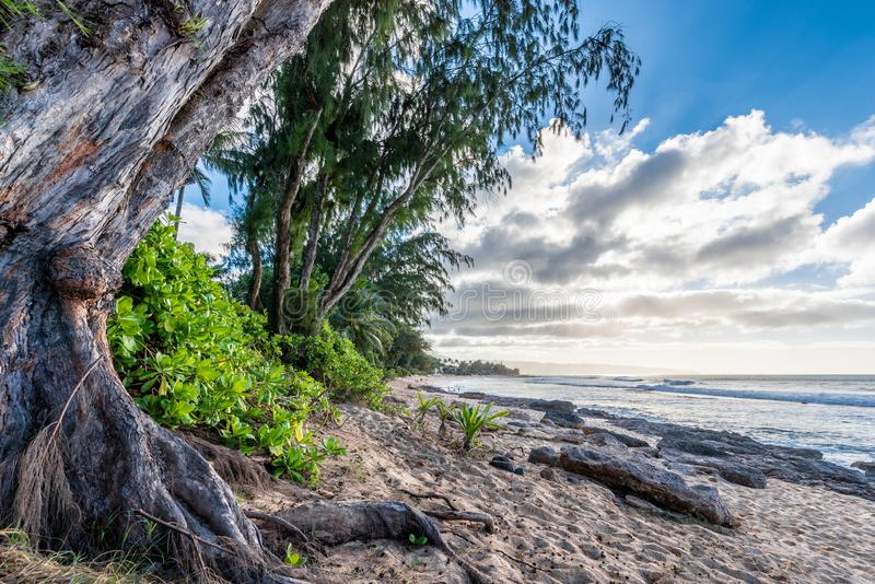 松树、棕榈树和热带植被在日落海滩在夏威夷 库存照片
