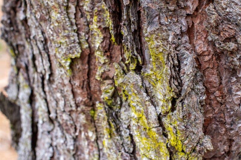 松树吠声有绿色青苔背景 免版税图库摄影