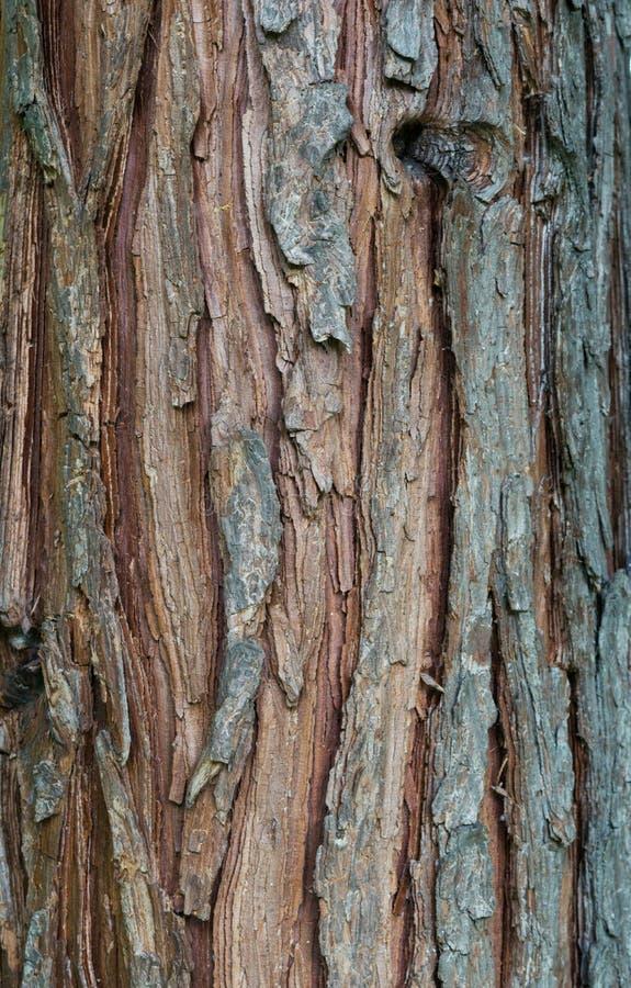 松树吠声纹理背景-垂直的照片 库存图片