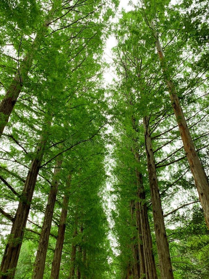 松树在公园背景中 库存图片