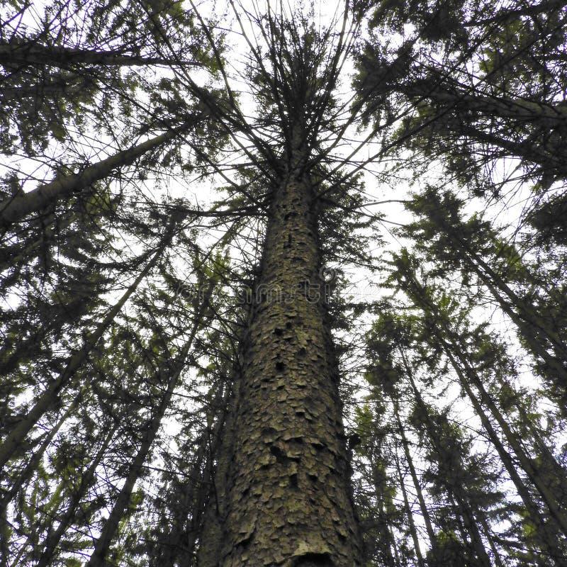 松树林中,松树林 图库摄影