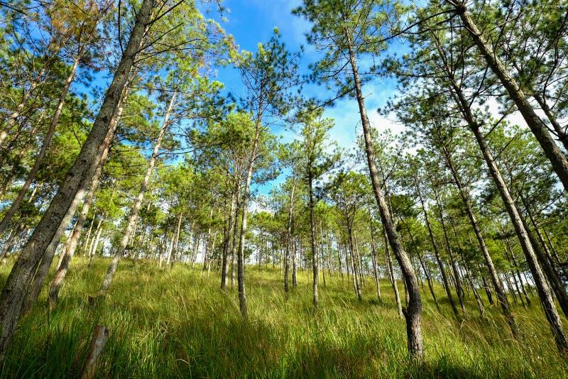 松树森林在夏日 库存图片