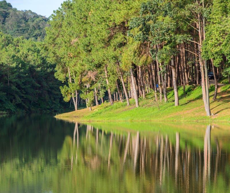 松树的反射Morining视图在湖 免版税库存照片