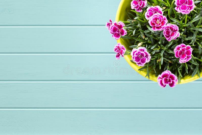 绿松石木板条背景有紫色微型carnationin花盆顶视图  免版税库存图片