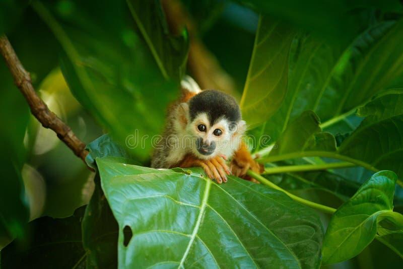 松鼠猴子,松鼠猴属oerstedii,坐与绿色叶子的树干,科尔科瓦多湾NP,哥斯达黎加 在回归线的猴子 库存图片