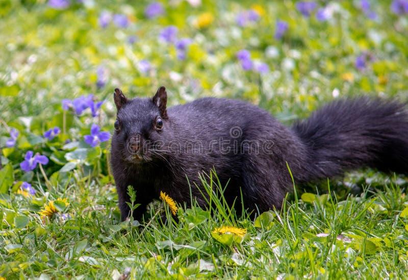 松鼠盯着花园 库存图片