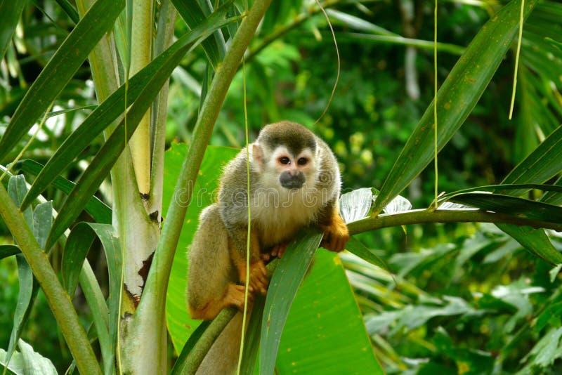 松鼠猴子在曼纽尔安东尼奥国家公园,哥斯达黎加 免版税库存图片
