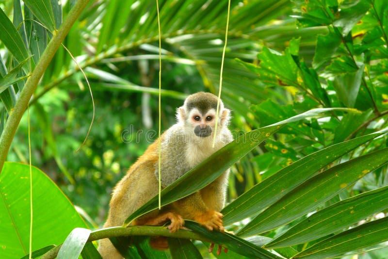 松鼠猴子在曼纽尔安东尼奥国家公园,哥斯达黎加 图库摄影