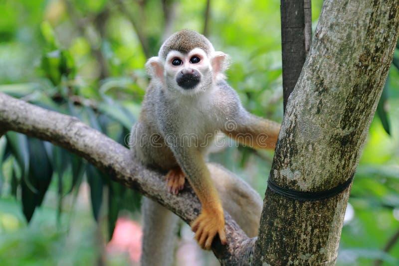松鼠猴子 免版税库存照片