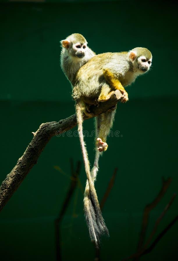 松鼠猴属Sciureus 免版税图库摄影