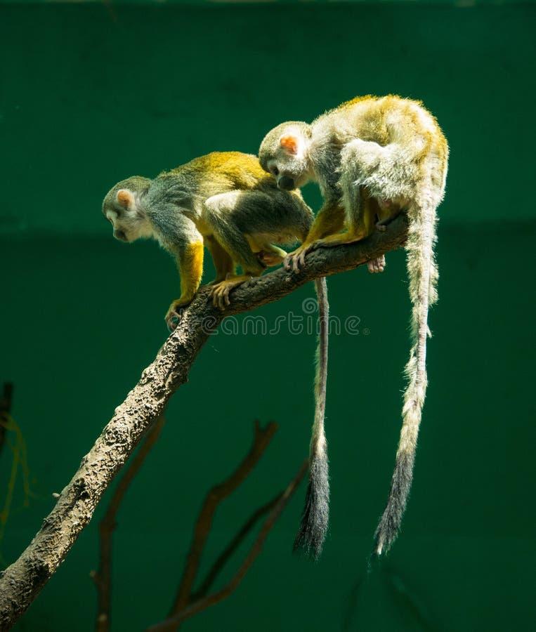 松鼠猴属Sciureus 免版税库存图片
