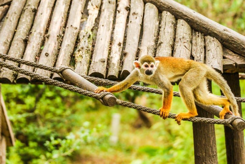 松鼠猴属Sciureus 库存照片