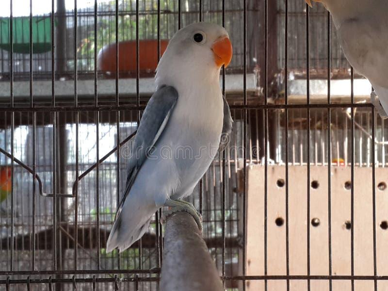 板岩状的爱情鸟 图库摄影