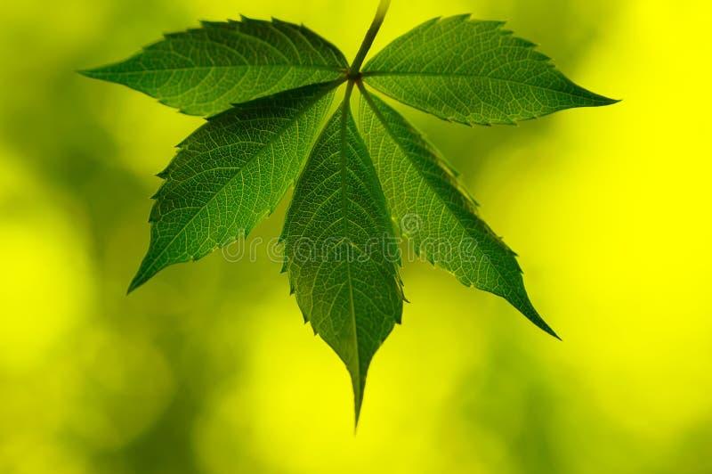 板料在清除的葡萄特写镜头 在精美背景的美丽的藤叶子 免版税库存照片