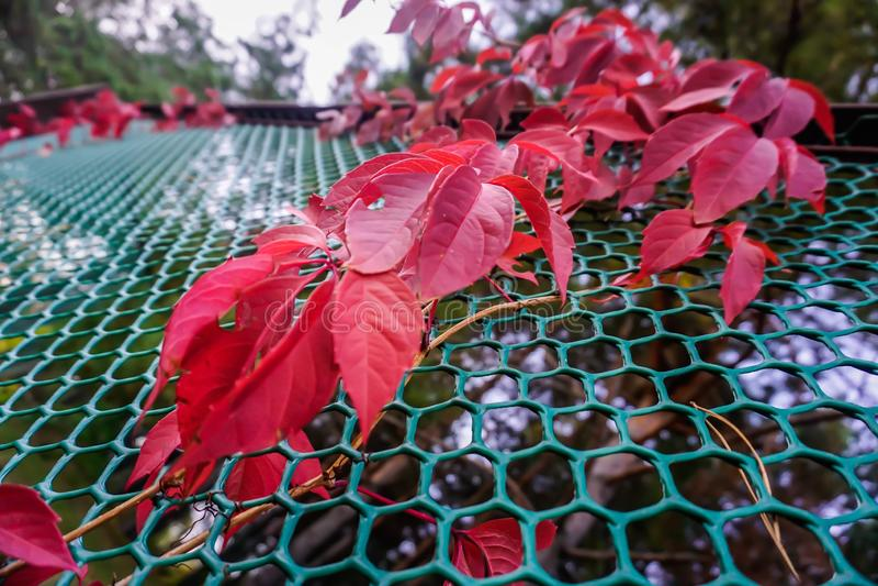 板条做的篱芭的红色植物 库存照片