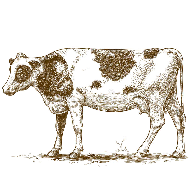 板刻母牛的传染媒介例证 图库摄影