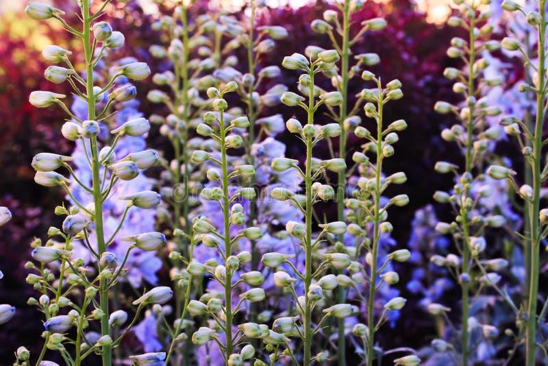 极光的野靛,一般叫作蓝色狂放的靛蓝或蓝色穗花槐在紫色日落在庭院里 库存图片