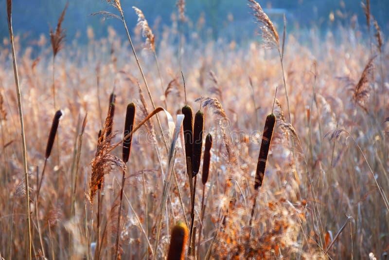 极光藤茎的芦苇属 免版税图库摄影