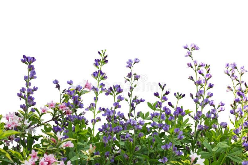 极光野靛和锦带花 免版税图库摄影