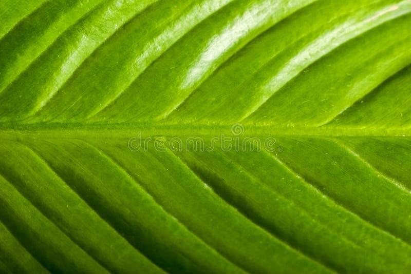 极其绿色叶子 库存照片