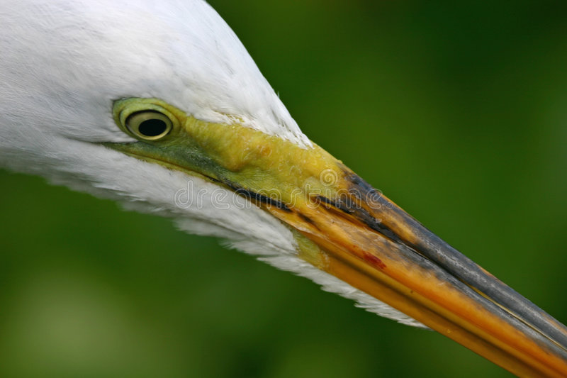 极大特写镜头的白鹭 库存照片
