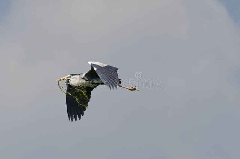极大的灰色苍鹭(灰质的Ardea)在飞行中 库存照片