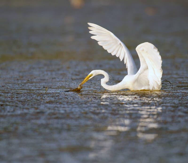 极大的白鹭在佛罗里达沼泽 免版税库存照片