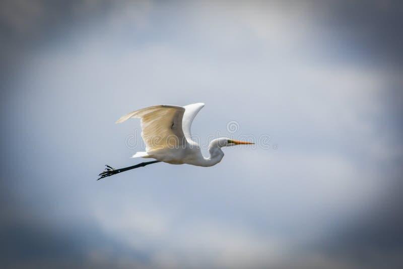 极大的白鹭1 图库摄影