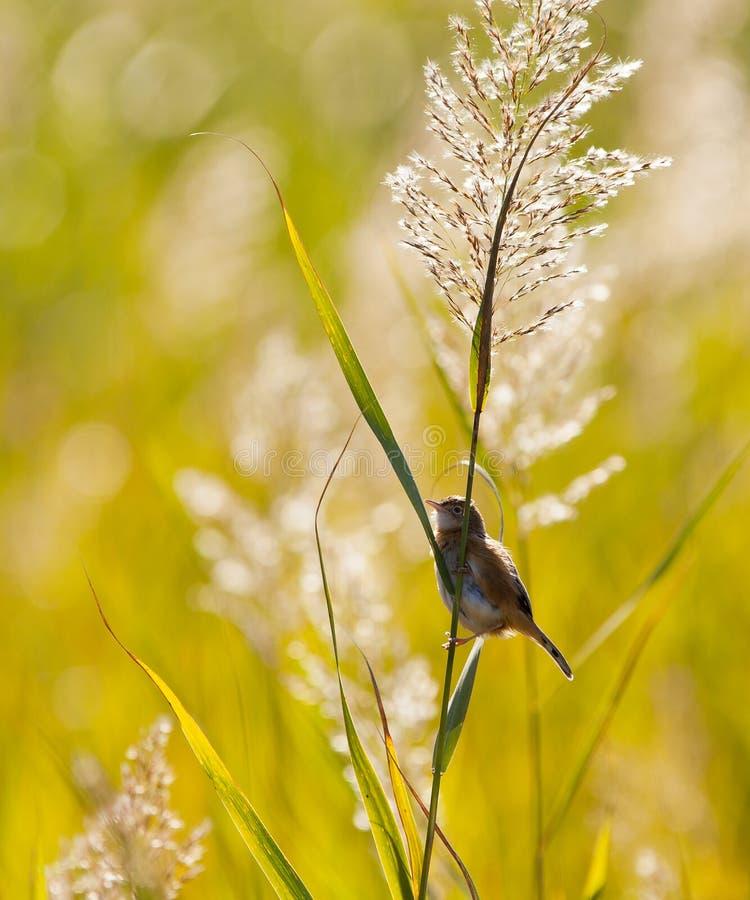 极大的芦苇星期日鸣鸟 免版税库存图片