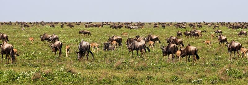 极大的迁移serengeti角马 库存照片