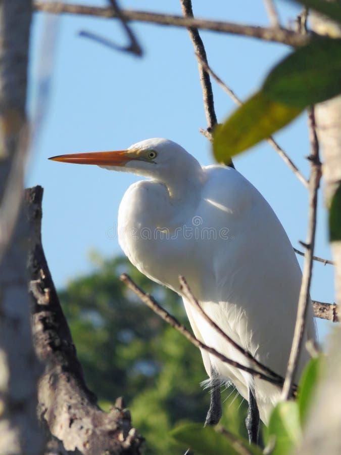 极大鸟的白鹭 库存照片