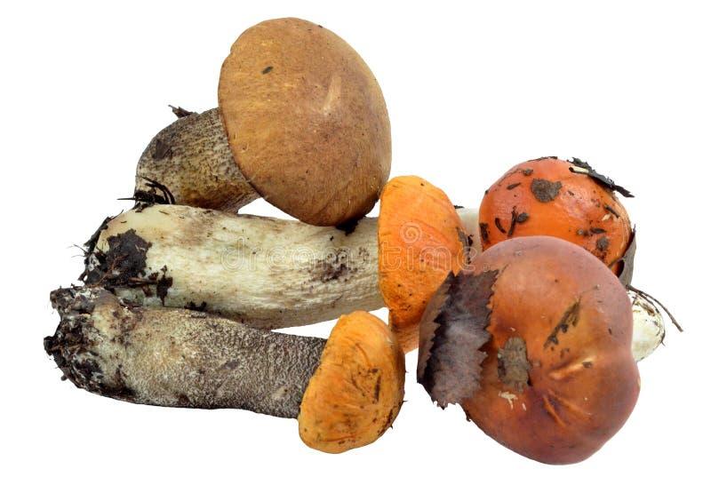 极少数可食的狂放的蘑菇,被提出森林 免版税库存照片