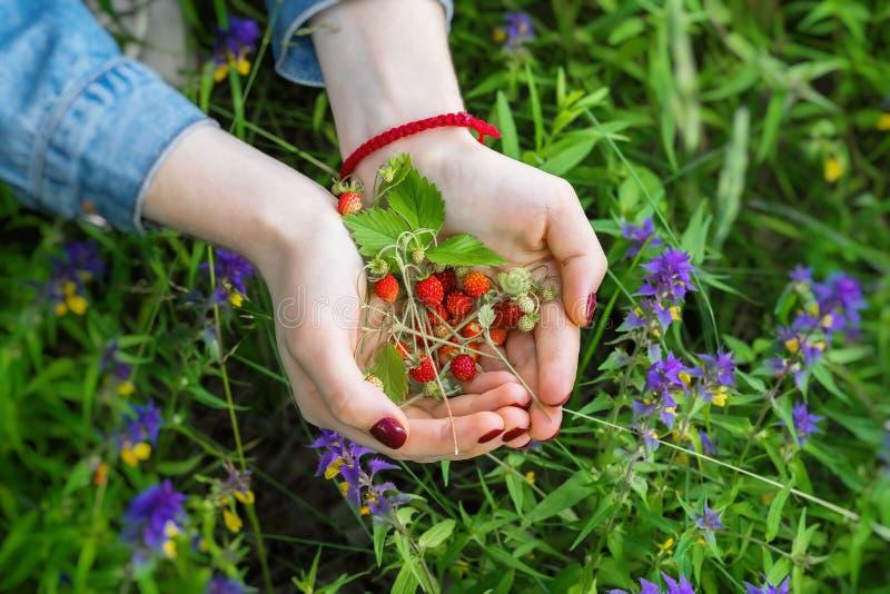极少数狂放的草莓属vesca,共同地称野草莓,森林地草莓,女孩特写镜头棕榈  概念  库存图片