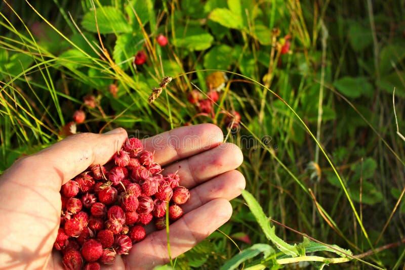 极少数野草莓草莓属viridis 免版税库存照片