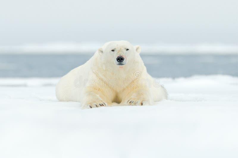 极性在斯瓦尔巴特群岛海涉及与雪的流冰边缘和水 白色大动物在自然栖所,欧洲 野生生物场面f 图库摄影