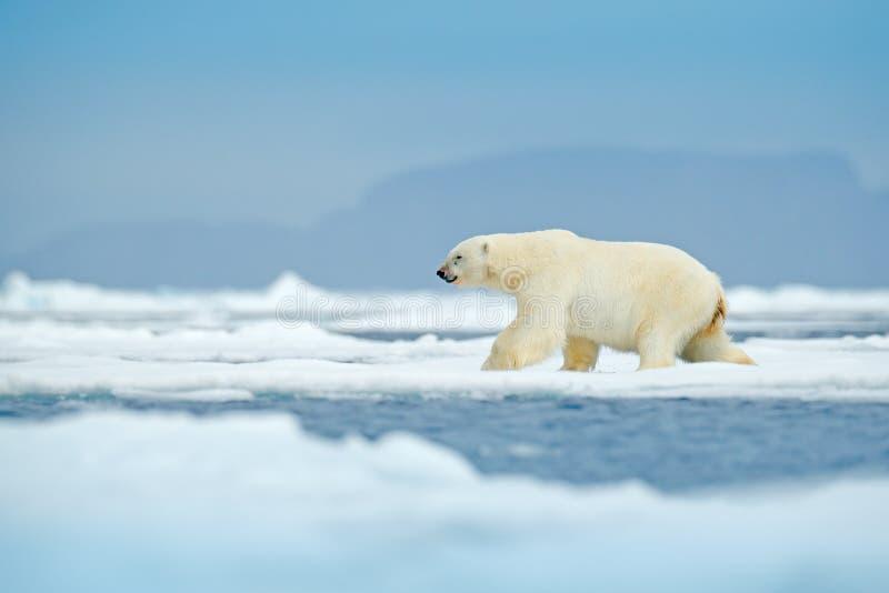 极性在斯瓦尔巴特群岛海涉及与雪的流冰边缘和水 白色大动物在自然栖所,欧洲 野生生物场面f 免版税库存照片
