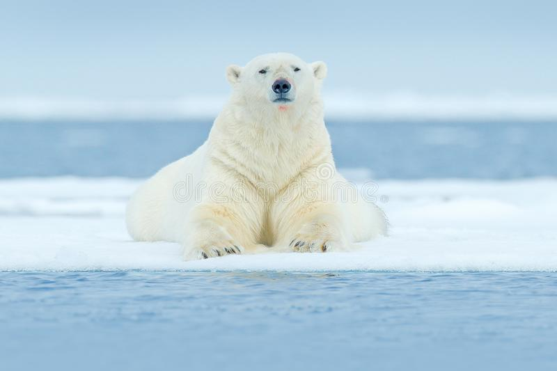 极性在斯瓦尔巴特群岛海涉及与雪的流冰边缘和水 白色大动物在自然栖所,欧洲 野生生物场面f 免版税库存图片