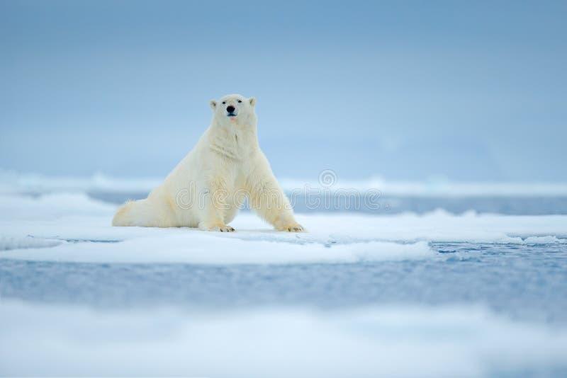 极性在海涉及与雪的流冰边缘和水 白色动物在自然栖所,北部欧洲,斯瓦尔巴特群岛,挪威 Wildl 免版税库存图片