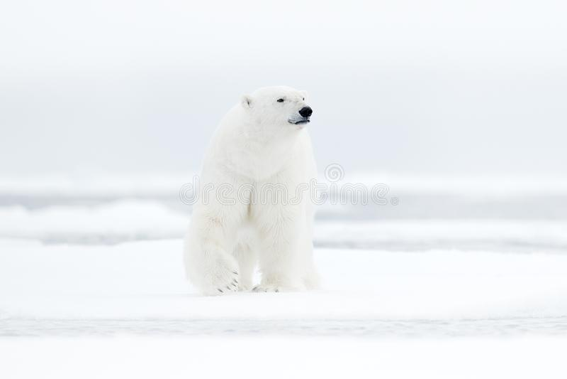 极性在海涉及与雪的流冰边缘和水 白色动物在自然栖所,北部欧洲,斯瓦尔巴特群岛,挪威 Wildl 库存照片
