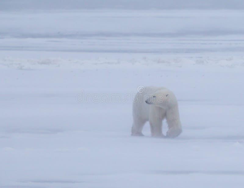 极性在Manatoba,在30mph风期间的加拿大涉及北极寒带草原 免版税图库摄影