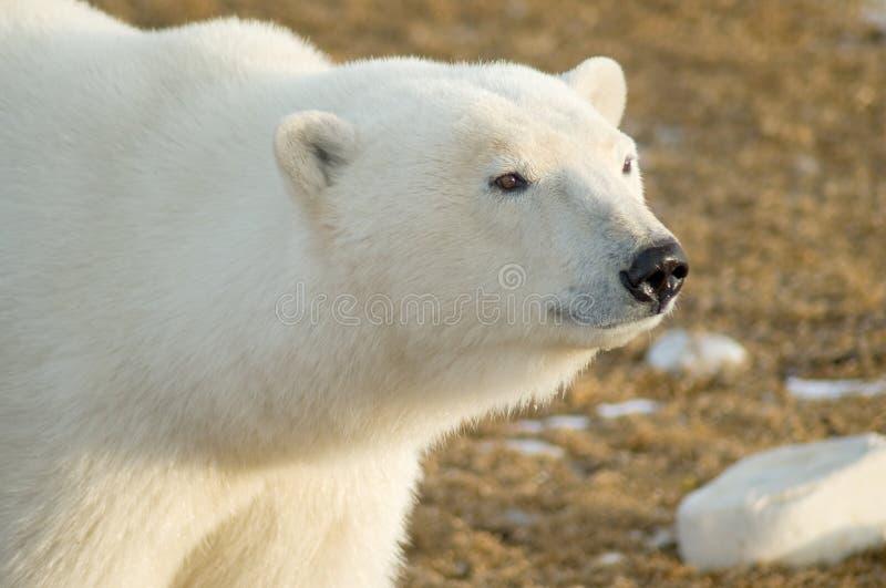 极性熊的注视 库存照片