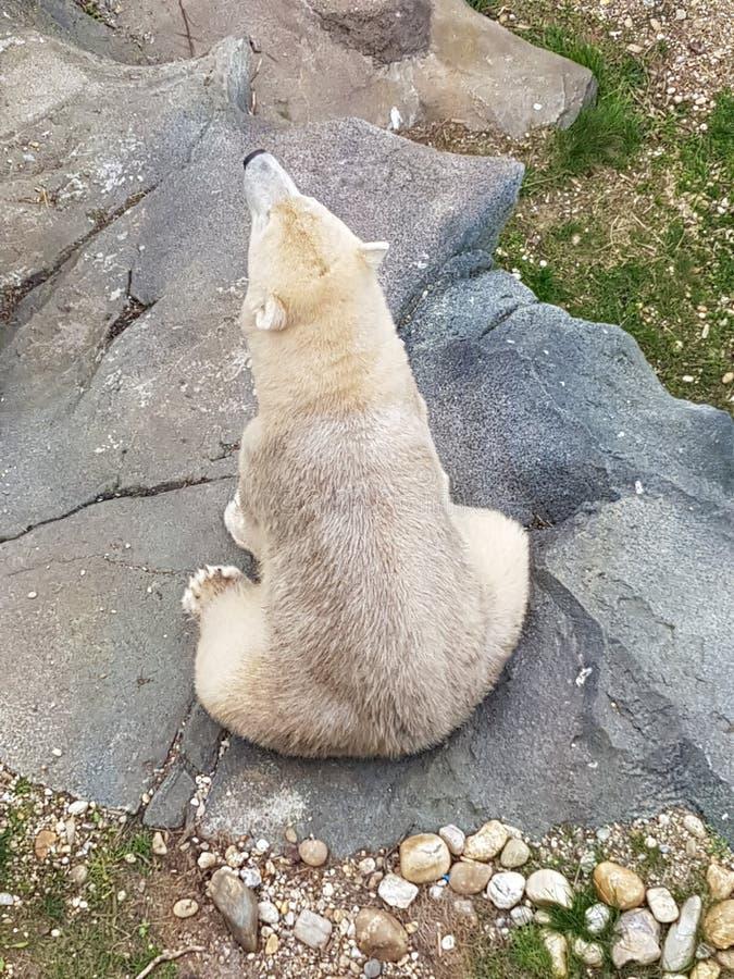 极性熊的看起来 库存图片