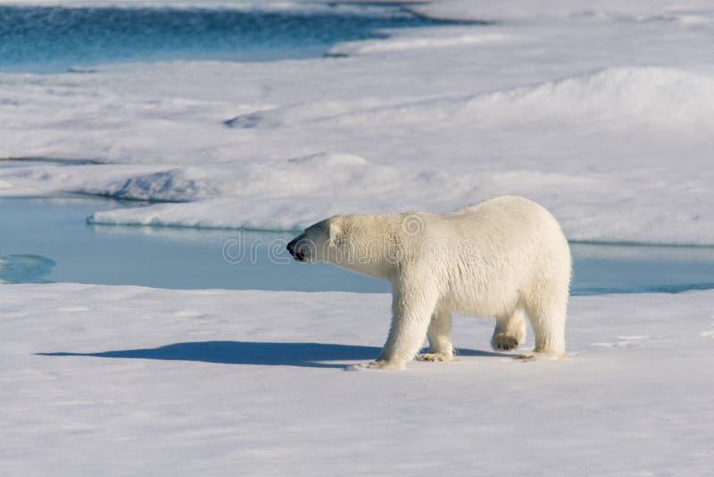极性熊的看起来 图库摄影